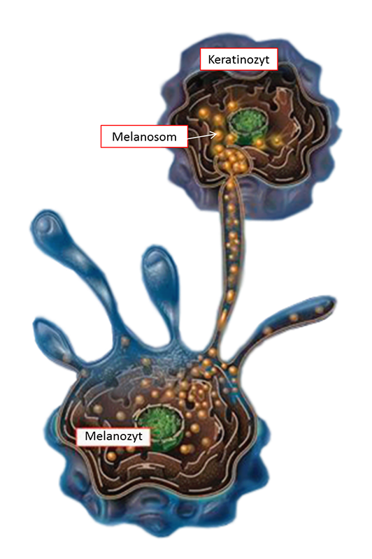 Pigmentstoerung/3a Melanogenese