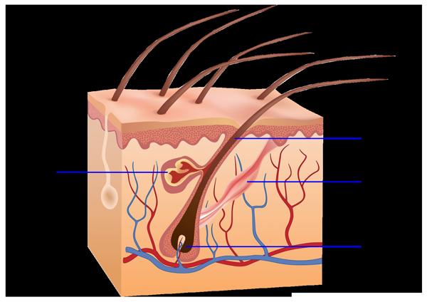 dauerhafte-Haarentfernung---Haaraufbau