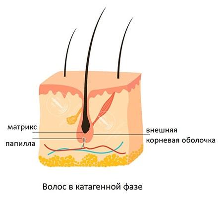 катагенный волос