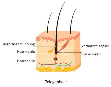 Darstellung der Telogenphase beim Haarwachstum - Telogenhaar