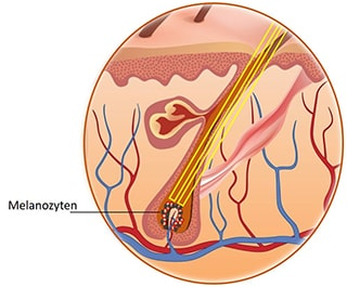 Melanozyten im Haarmatrix
