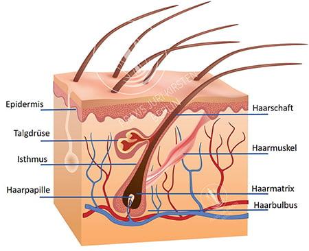 genaue Darstellung des Haaraufbaus
