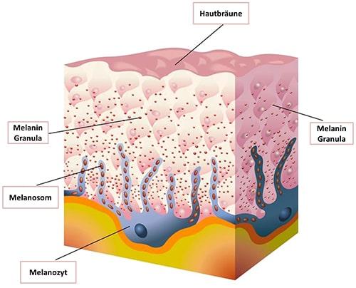 Darstellung von Melanozyten, Granulas und Braeune